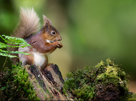 S-0-Red Squirrel - Ian Humes - Catchlight CC_.jpg