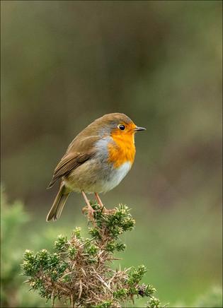 PRINT - Robin by Ross McKelvey
