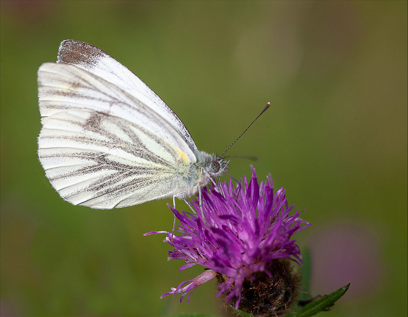 PDI - Large White by Martin Spackman (8 marks)
