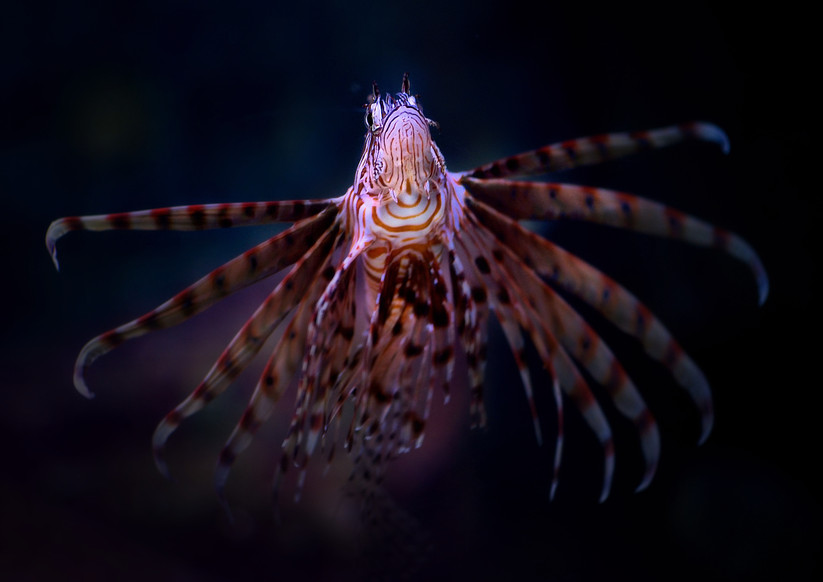 PDI - Lion Fish by Joe Beattie (11 marks)
