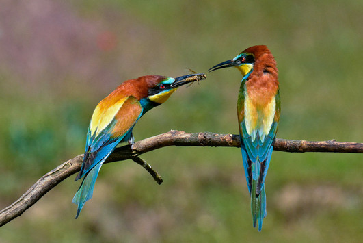 16 - IPF - Bee Eaters by Michael Feeney ( 27 marks )