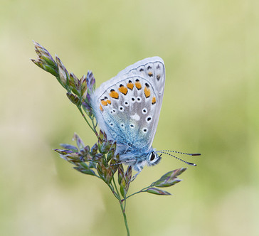 44 - IPF - Common Blue by Mary Doherty ( 33 marks )