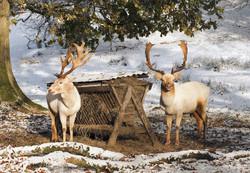Fallow Deer Eileen McCausland,DUCK.jpg