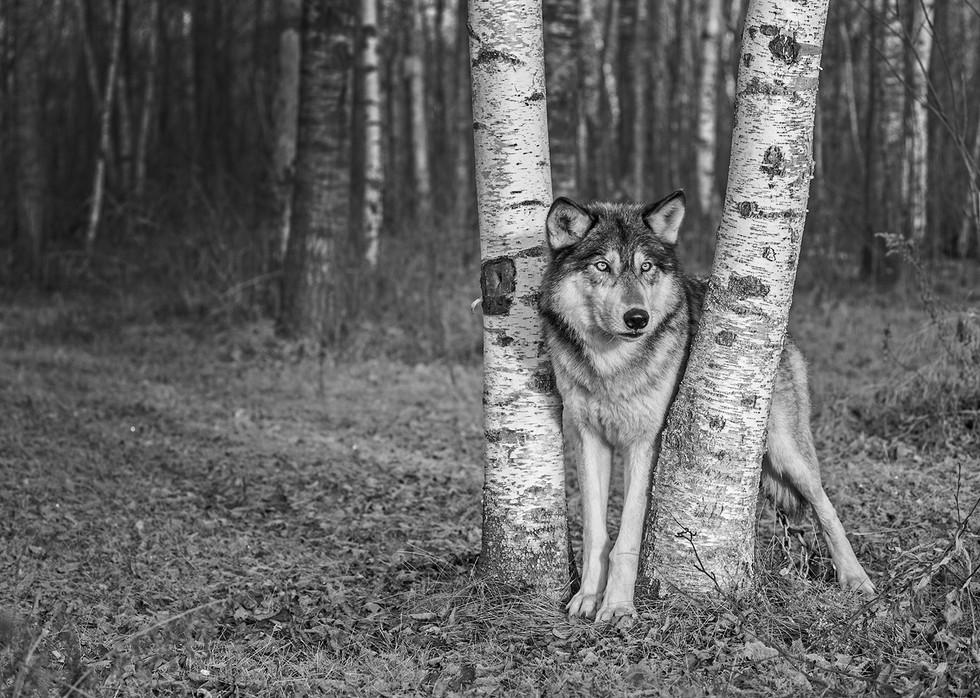 MONO - Wolf in Aspen Woods by Linda Cowen (15 marks)