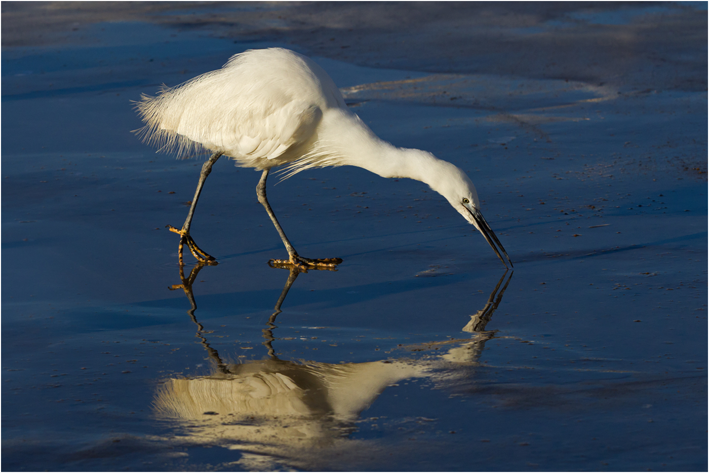 133 Little Egret.jpg