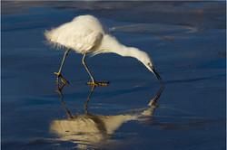 133 Little Egret.jpg