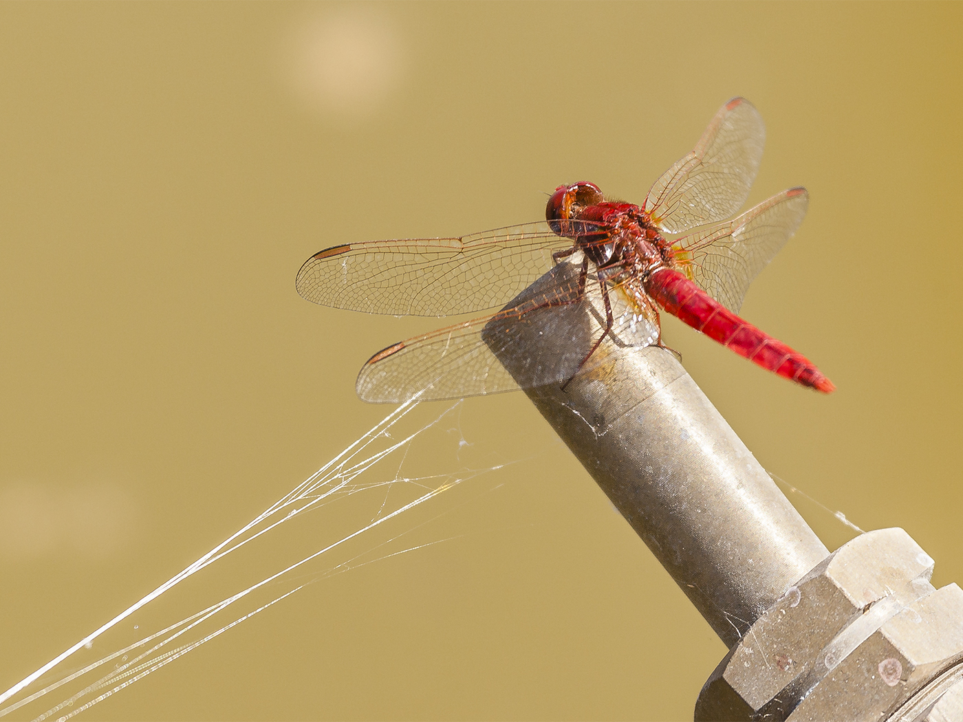 092 Red Dragon Fly.jpg
