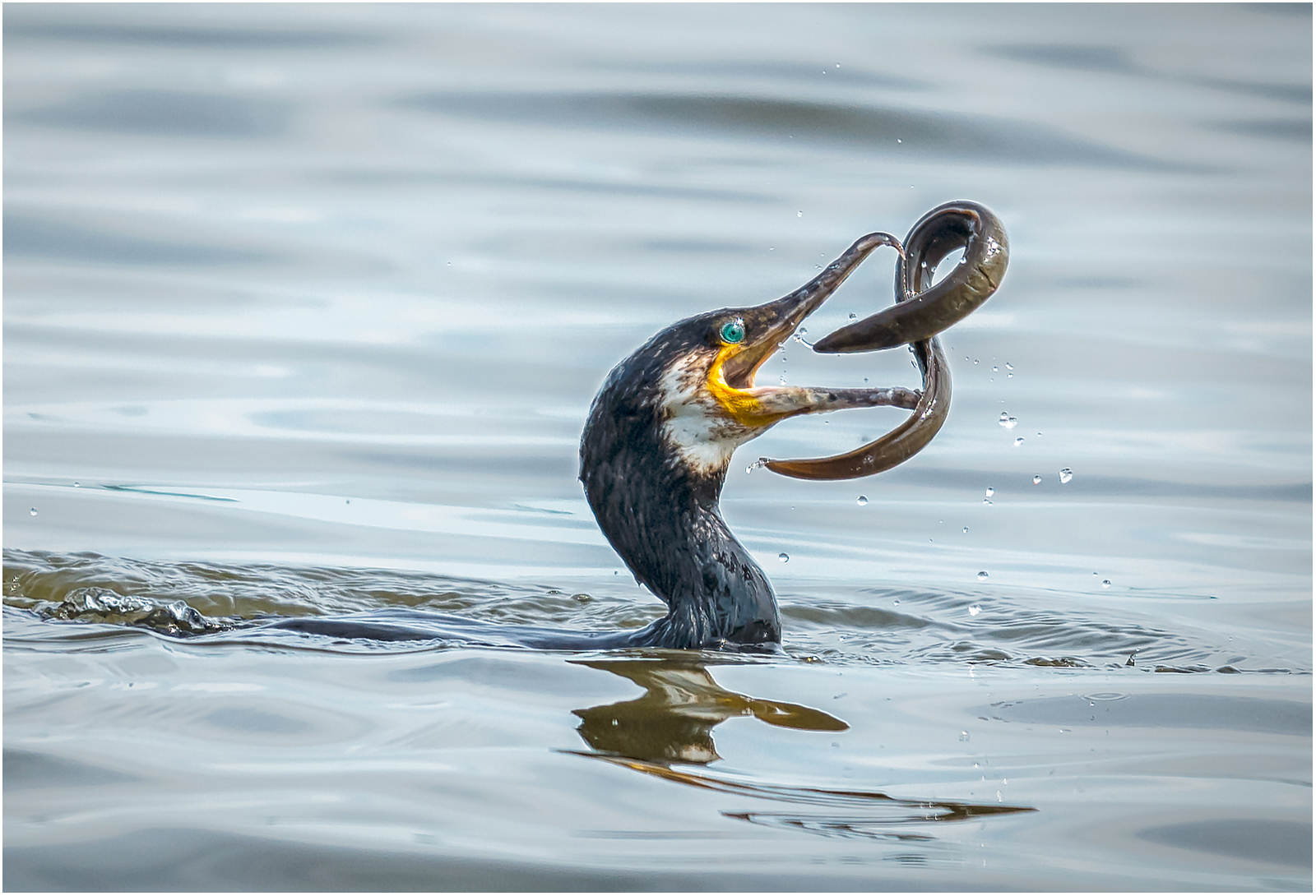 Cormorant and Eel