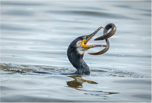 Cormorant and Eel