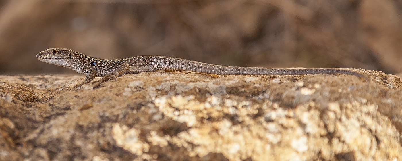 160_095 Sicilian Rock Lizard.jpg