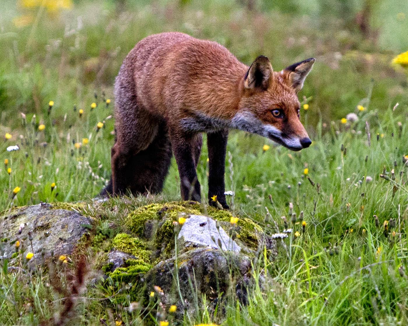 026  RED FOX..jpg
