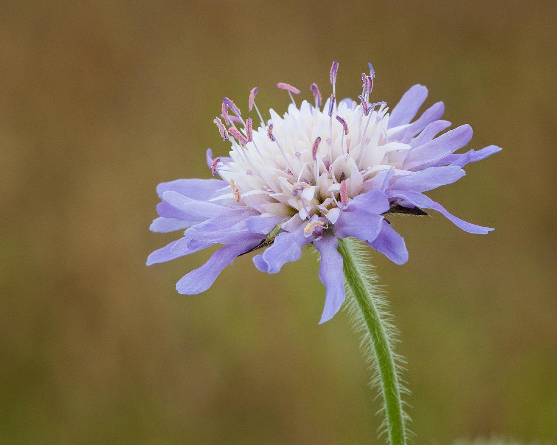 Field Scabious Flower