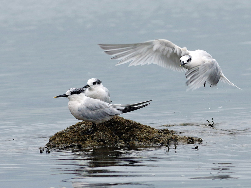 COLOUR - Sandwich Tern and Chicks at Lantana by Danny McCaughan (11 marks)