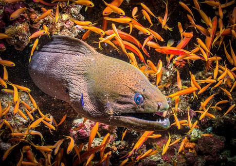 182 - NIPA - Moray Eel at cleaning station by Alan Cranston ( 39 marks ) - 2nd Place