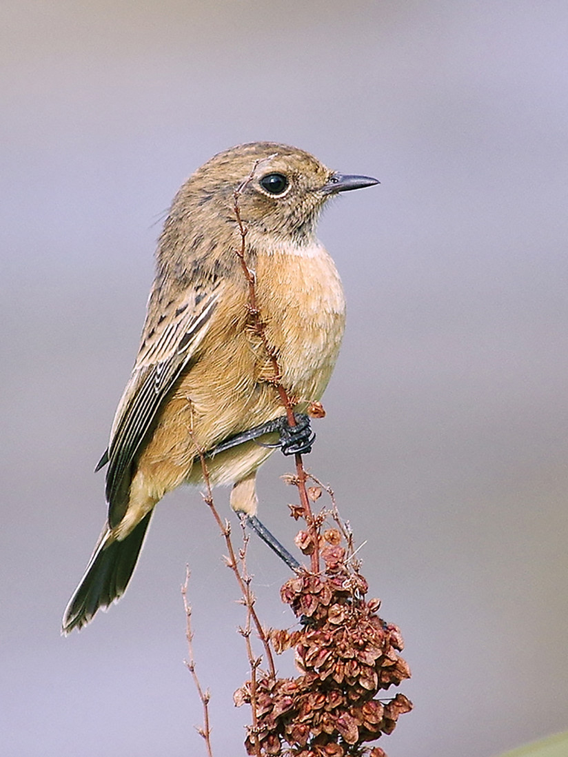 COLOUR - Whinchat by Danny McCaughan (9 marks)