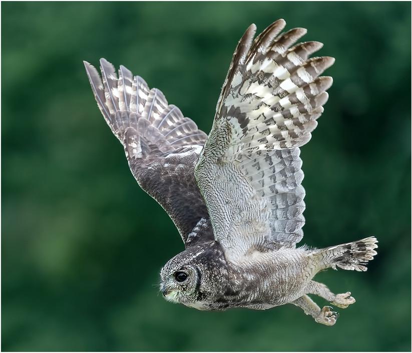 COLOUR - Barn Owl by Cliff Emery (17 marks)