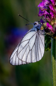 19 - IPF - Black veined white by Malcolm McCamley ( 24 marks )