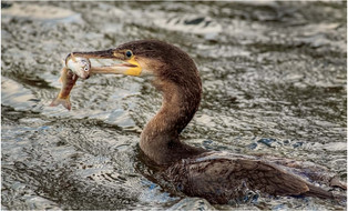 PDI - Cormorant with Fish by Pat McKeefry