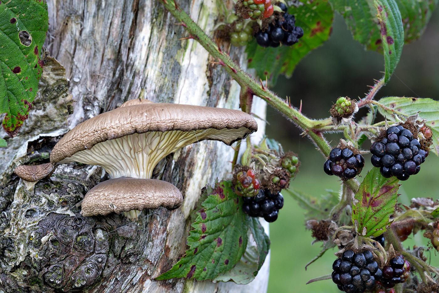 Fungi Pleurotus Ostreatus