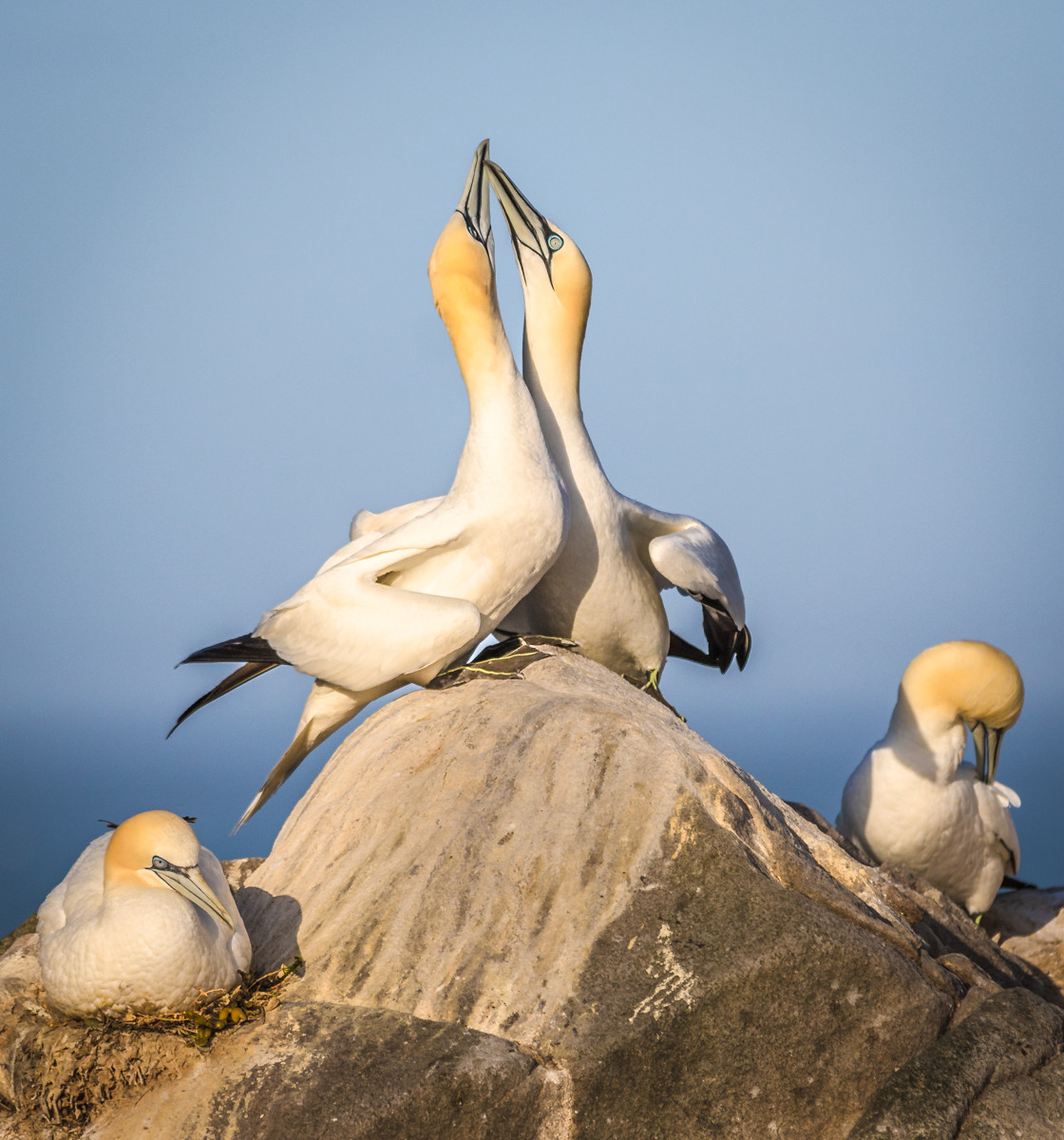 PDI - Gannets Courting by Terry Hanna (12 marks)