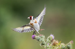 PDI -  Highly Commended - Goldfinch on Thistle by Hugh Wilkinson