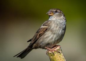 PRINT - Female Sparrow by Robert Sergeant