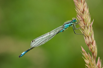 """Blue-tailed Damsel"" by Ted McKee"