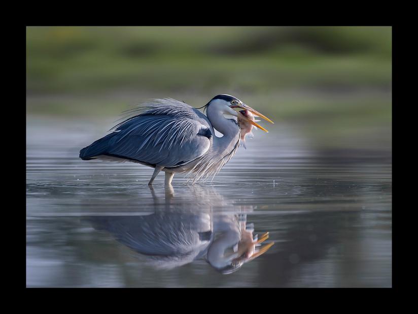 PDI - Grey Heron Fishing by Mick Durham (17 marks)