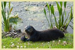057 Fishing_Otter.jpg
