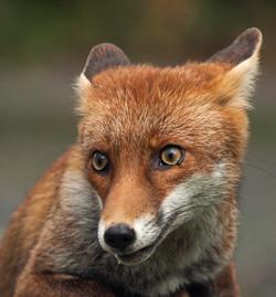 Young Fox, Vulpes Vulpes