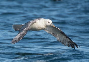 PRINT - Fulmar in flight by Rosaline [Lynn} Hughes