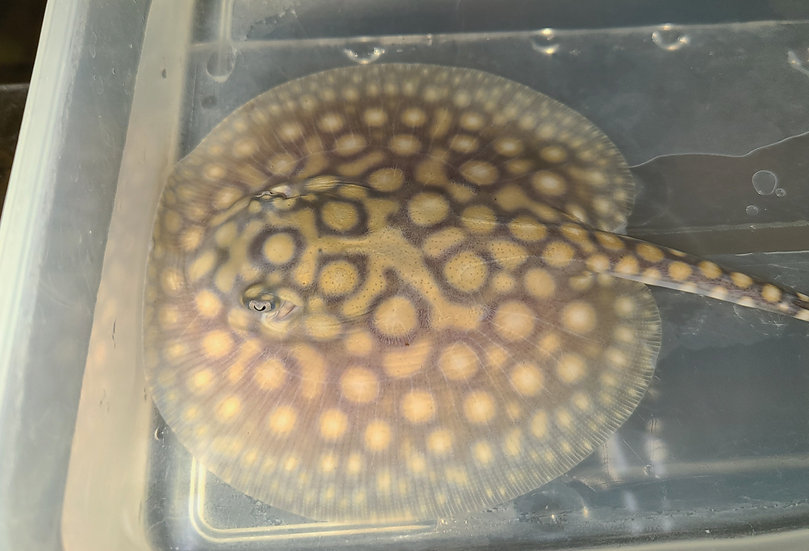 Designer Hybrid Stingray (Potamotrygon sp)