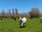 Cows Marlborough.PNG