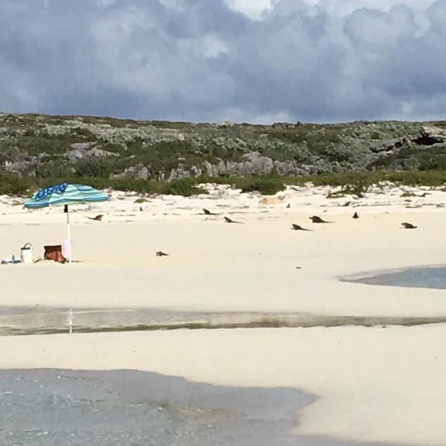 The Iguanas love Staniel Cay, Bahamas