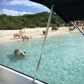 Swimming with the pigs of Staniel Cay, Bahamas