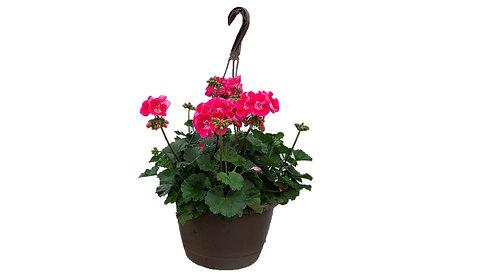 """10"""" Hanging Basket - Geranium"""