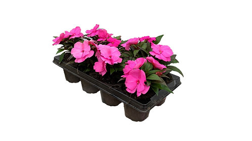 8 Pack New Guinea Impatiens