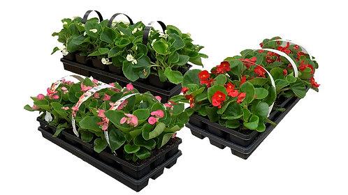 306 Flat – Wax Begonias