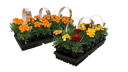 306 Flat - Marigolds