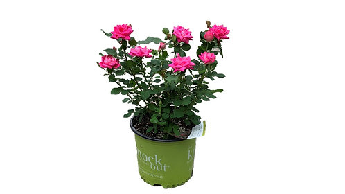 3 Gallon Knock Out Rose