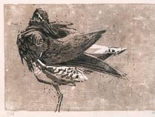 Redshank preening