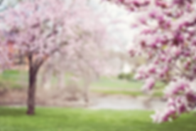 magnolia-trees-556718_1280.webp