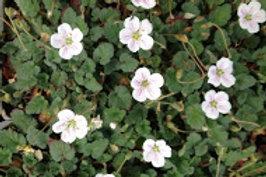 Erodium chamaedryoides 'Alba'