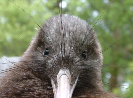 The Kiwi's are calling