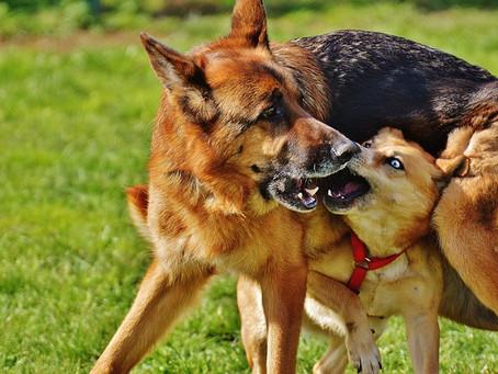 Help! My Younger Dog Attacked My Elder Dog!
