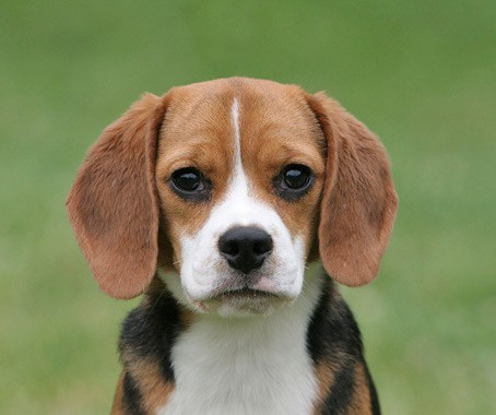 What You Should Know About Beagles on National Dog Day
