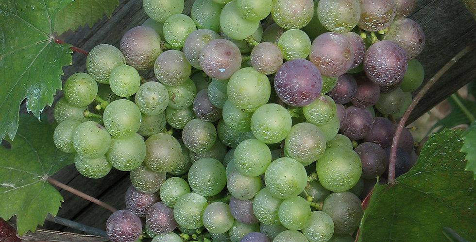 Grape Bounty