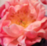 Peony close-up photograph
