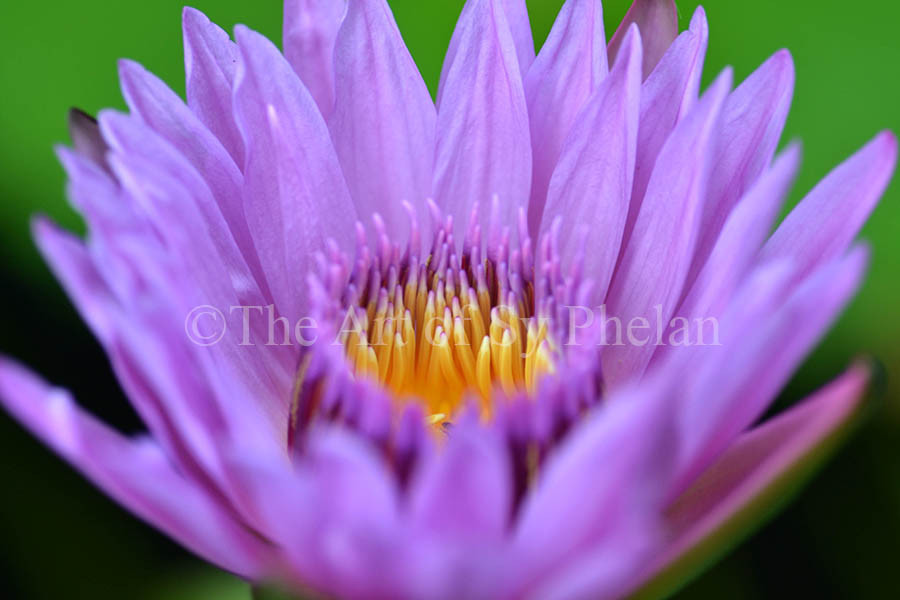 """""""Water Lily #2"""""""
