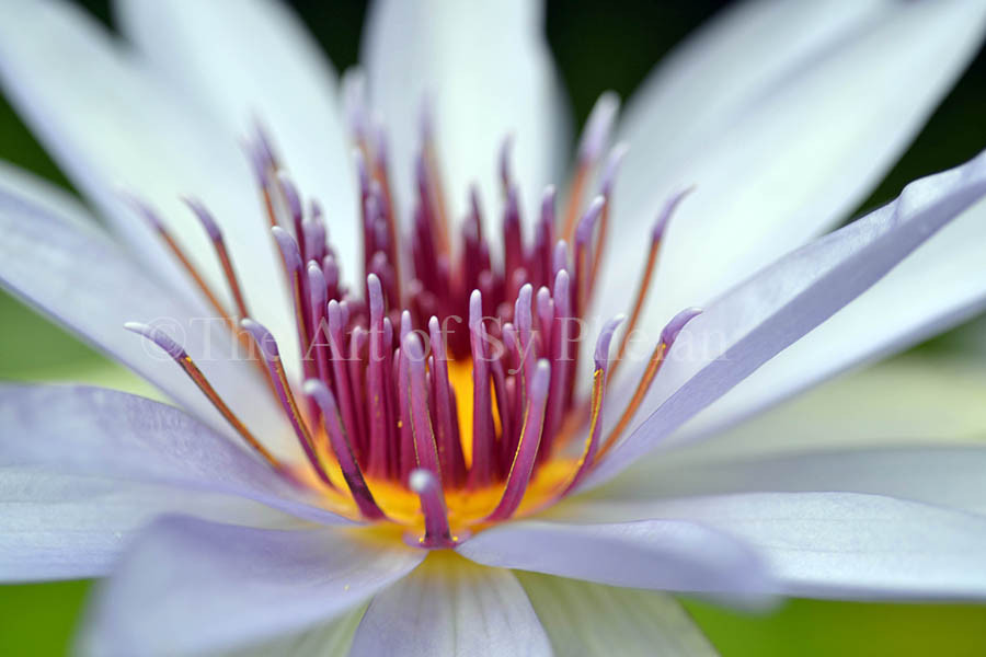 """""""Water Lily #1"""""""